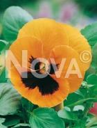 Viola del pensiero gigante svizzera arancio con occhio G4500506