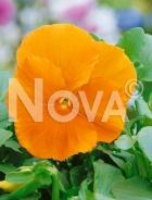 Viola del pensiero gigante svizzera arancione G4500507