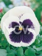 Viola del pensiero gigante svizzera bianca con occhio G4500511