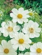 Cosmea bianca G4500537