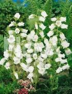 Campanula semplice bianca G4500599