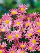 Crisantemo rosa G4500648