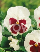 Viola del pensiero gigante svizzera bianca con occhio G4500685