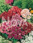 Schizanthus mix G4500696