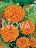 Tagete alto doppio arancio G4500757