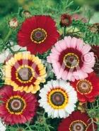 Crisantemo carinato mix G4500776