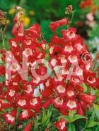 Penstemon rosso G4500819