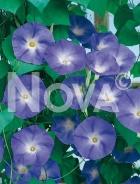 Ipomea grandiflora blu G4500893