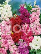 Violaciocca doppia mix G4501308