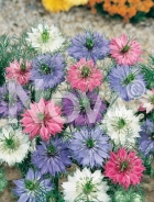 Nigella di damasco mix G4501331