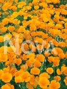 Escolzia doppia arancio G4501457