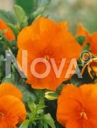 Viola del pensiero gigante svizzera arancione G4501602