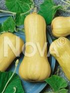 Zucca butternut liscia G4700268