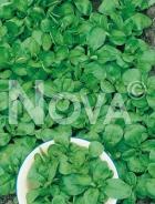 Valeriana coquille de louviers G4700527