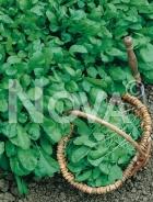 Crescione comune G4700602