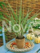 Citronella lemongrass G4701610