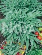 Salvia officinale G4701673
