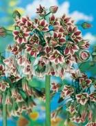Allium bulgaricum G4900009