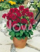 Dahlia anemone rossa G4900043