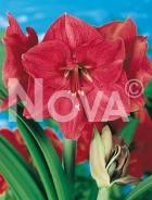 Amaryllis rosa G4900074