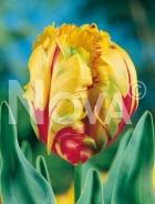 Tulipano pappagallo giallo-rosso G4900086