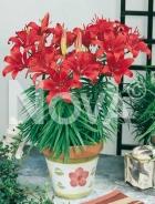 Lilium nano rosso G4900094