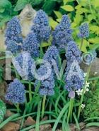 Muscari blu G4900114