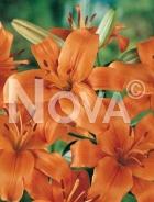 Lilium asiatico arancio G4900134