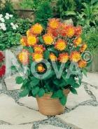 Dahlia anemone arancio G4900141