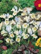 Iris hollandica bianco-azzurro G4900160