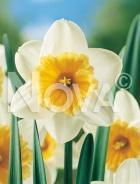 Narciso a grande coppa bianco-giallo G4900181