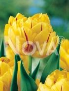 Tulipano doppio giallo-rosso G4900220