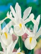 Iris hollandica bianco-giallo G4900364