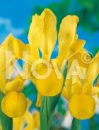 Iris hollandica giallo G4900365
