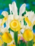 Iris hollandica giallo-bianco G4900366