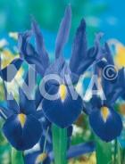 Iris hollandica blu-giallo G4900367