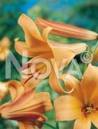 Lilium trumpet arancio G4900375