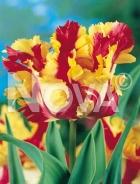 Tulipano pappagallo giallo-rosso G4900395