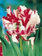 Tulipano pappagallo bianco-rosso G4900396