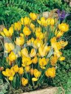 Crocus giallo G4900511