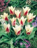 Tulipano kaufmaniana bianco-rosso G4900561