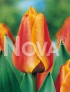 Tulipano darwin hybrid arancio G4900658
