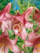 Lilium trumpet rosa G4900806