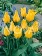 Tulipano greigii giallo G4900940