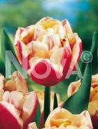 Tulipano doppio bianco-rosso G4900963