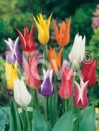 Tulipano fior di giglio miscuglio G4900997