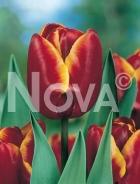Tulipano triumph giallo-rosso G4901031