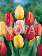 Tulipano darwin hybrid miscuglio G4901035