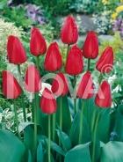 Tulipano darwin hybrid rosso G4901184