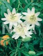 Passiflora N0400124
